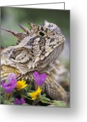 Horned Lizard Greeting Cards - Texas Horned Lizard Phrynosoma Cornutum Greeting Card by Rolf Nussbaumer