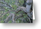 "\""guadalupe National Park\\\"" Greeting Cards - Texas Madrone Tree Limbs Greeting Card by Michael Melford"