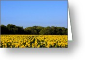 Texas.photo Photo Greeting Cards - Texas Sunflower Field Greeting Card by Paul Huchton