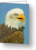 National Bird Greeting Cards - The Bald Eagle Greeting Card by Gary Maynard