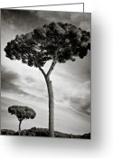 Black And White Greeting Cards - The Beauty of Trees Greeting Card by David Bowman
