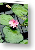 Lily Pad Greeting Cards - The beauty of Water Lily Greeting Card by Jasna Buncic