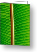 Image Type Photo Greeting Cards - The Blacklit Veins Of A Banana Leaf Greeting Card by Jason Edwards