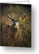 Whitetail Deer Greeting Cards - The Boss Greeting Card by Emily Stauring