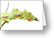 Stamen Greeting Cards - The Branch Of A Flowering Orchid Greeting Card by Nicholas Eveleigh