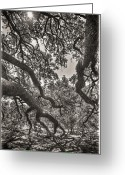 Canopy Greeting Cards - The Century Oak 2 Greeting Card by Scott Norris