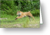 Siberian Tiger Greeting Cards - The Chase Begins Greeting Card by Sandra Bronstein
