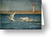 Canada Swan Greeting Cards - The Chase Is On Greeting Card by Lois Bryan