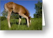 Horse Greeting Cards - The Colt Greeting Card by Michael Mogensen