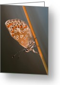Eavning Greeting Cards - The Common Blue Greeting Card by Rikard  Olsson
