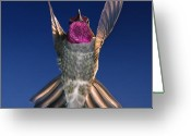 Orchestra Greeting Cards - The Conductor of Hummer Air Orchestra Greeting Card by William Lee