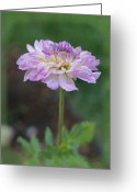 Purples Greeting Cards - The Dahlia Greeting Card by Ernie Echols