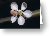 Pink Flower Branch Greeting Cards - The Dainty Pale Pink Blossom Flower Greeting Card by Jason Edwards
