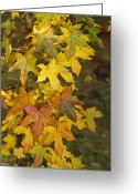 Changing Colors Greeting Cards - The Early Fall Yellow And Amber Leaves Greeting Card by Jason Edwards