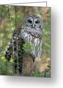 Bird Of Prey Giclee Greeting Cards - The Eyes Have it Greeting Card by Suzanne Gaff