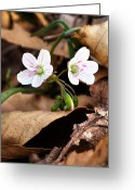 Forest Floor Greeting Cards - The First Signs Greeting Card by JC Findley