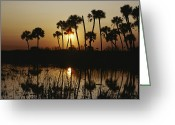 Cabbage Palm Trees Greeting Cards - The Flaming Orange Sun Sets Greeting Card by Bates Littlehales