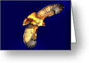 Red-tailed Hawk Greeting Cards - The Fly Away Greeting Card by Emily Stauring