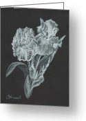 Botanical Drawings Greeting Cards - The Gossamer Iris Greeting Card by Carol Wisniewski