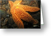 Interesting Art Greeting Cards - The Great Starfish Greeting Card by Paul Ward