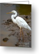 White Morph Greeting Cards - The Great White Heron  Greeting Card by Kathy Gibbons