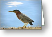 Heron.birds Greeting Cards - The Green Heron  Greeting Card by Saija  Lehtonen