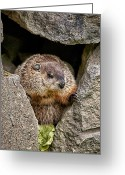 Furry Greeting Cards - The Groundhog Greeting Card by Bob Orsillo