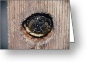 Hibernation Greeting Cards - The head of an adult Greeting Card by Robert Sisson