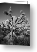 National  Parks Greeting Cards - The Joshua Tree Greeting Card by Peter Tellone
