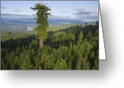Longevity Greeting Cards - The Largest Patch Of Old Growth Redwood Greeting Card by Michael Nichols
