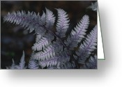 Spring Scenes Greeting Cards - The Leaf Of A Japanese Painted Fern Greeting Card by Stephen Alvarez