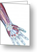 Human Hand Greeting Cards - The Ligaments Of The Hand Greeting Card by MedicalRF.com