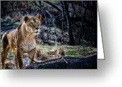 Female Animal Greeting Cards - The Lioness Greeting Card by Karol  Livote