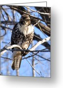 Raptor Photography Greeting Cards - The Look Says it All Greeting Card by Thomas Young