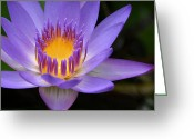 Violet Blue Greeting Cards - The Lotus Flower - Tropical Flowers of Hawaii - Nymphaea Stellata Greeting Card by Sharon Mau