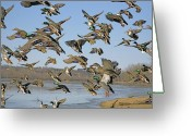 Mallards Greeting Cards - The mad rush Greeting Card by Robert Pearson