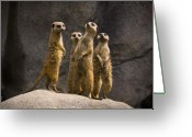 Standing Meerkat Photo Greeting Cards - The Meerkat Four Greeting Card by Chad Davis
