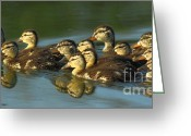 Mallards Greeting Cards - The Morning Rush Greeting Card by Robert Frederick