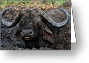 Curved Horns Greeting Cards - The Mud Bath Greeting Card by Ronel Broderick