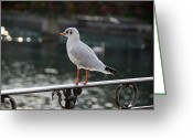 Tern Greeting Cards - The Patient Fisher Greeting Card by Paul Roger Ballard