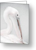 Pelican Greeting Cards - The Pelican Greeting Card by Photodream Art