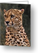 Pensive Greeting Cards - The Pensive Cheetah Greeting Card by Chris Lord