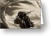 Honey Bee Greeting Cards - The Pollinator Greeting Card by Chris Berry