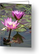 Lilly Pad Greeting Cards - The pond Greeting Card by Amanda Barcon