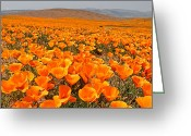 Wildflowers Greeting Cards - The Poppy Fields - Antelope Valley Greeting Card by Peter Tellone