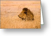 Wild Cat Greeting Cards - The Pride Greeting Card by Adam Romanowicz