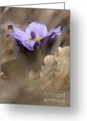 Pasqueflower Greeting Cards - The Pulsatilla Greeting Card by Odon Czintos