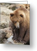 Grizzly Bears Greeting Cards - The Safest Place in the World Greeting Card by Tim Grams