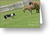 Purebreed Greeting Cards - The stare - Border Collie at work Greeting Card by Christine Till