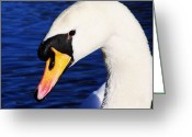 White Feather Greeting Cards - The Swan Greeting Card by Abbie Shores